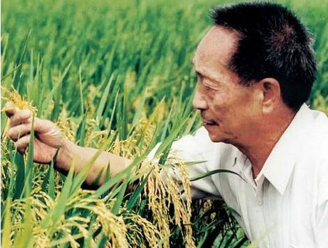 农业部 涉事稻种并非 超级稻 减产绝收不会影响国家对超级稻的研究