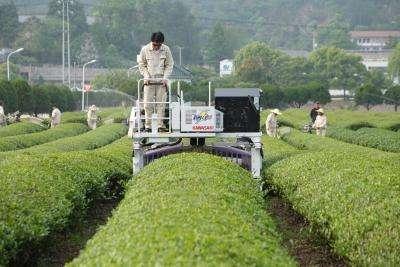 新建加工厂新增生产线 贵州水城县大力发展茶产业