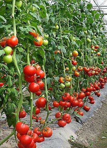 新疆投入面积zui大全程机械化亨氏番茄种植基地