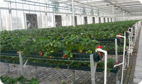 """无土栽培技术种出""""空中草莓"""" 颠覆传统种植方式"""