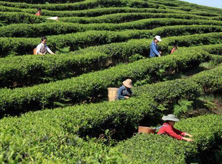 绿色生态立项地赤壁带动百亿元茶产业建设