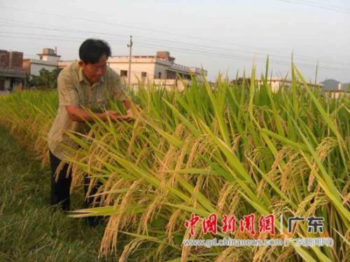 竹稻产品市场走红 商标被争先注册引争议