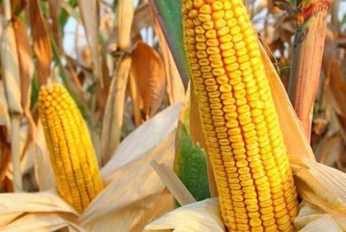 玉米收购增量大豆加工减压