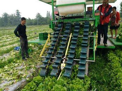 生菜生产实现机械化