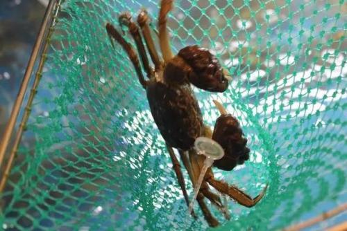 杭州人有多愛吃大閘蟹?1.2萬斤被搶空!